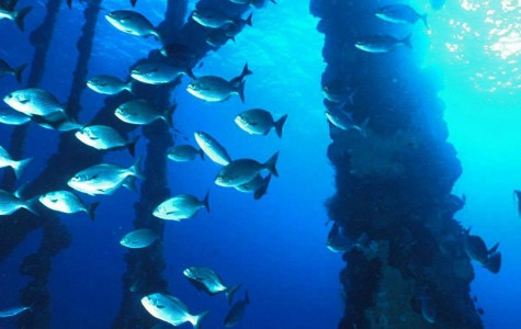 The debated Rigs-to-Reefs policy ensures safety of marine animals